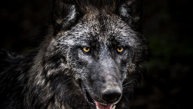 »Problemwolf« oder sogar »Schadwolf«?