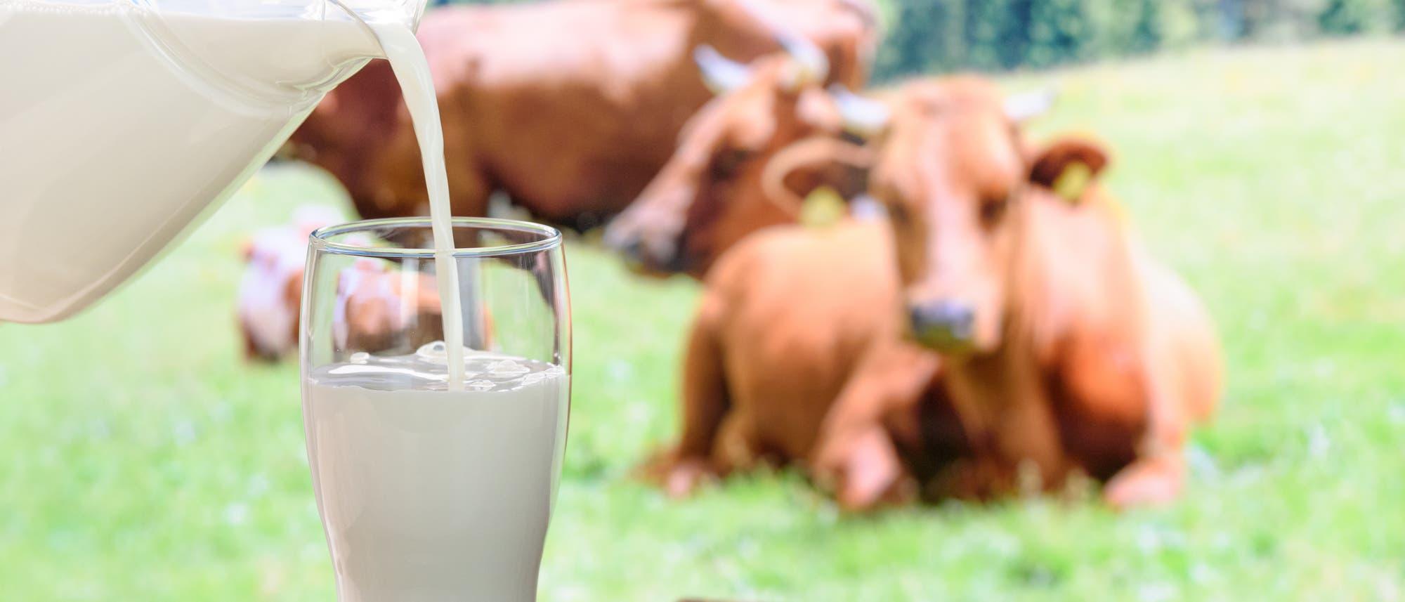 Milch wird aus einem Krug in ein Glas gegossen. Im Hintergrund Kühe.