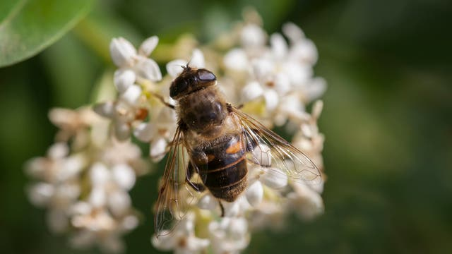 Schwebfliege simuliert Biene