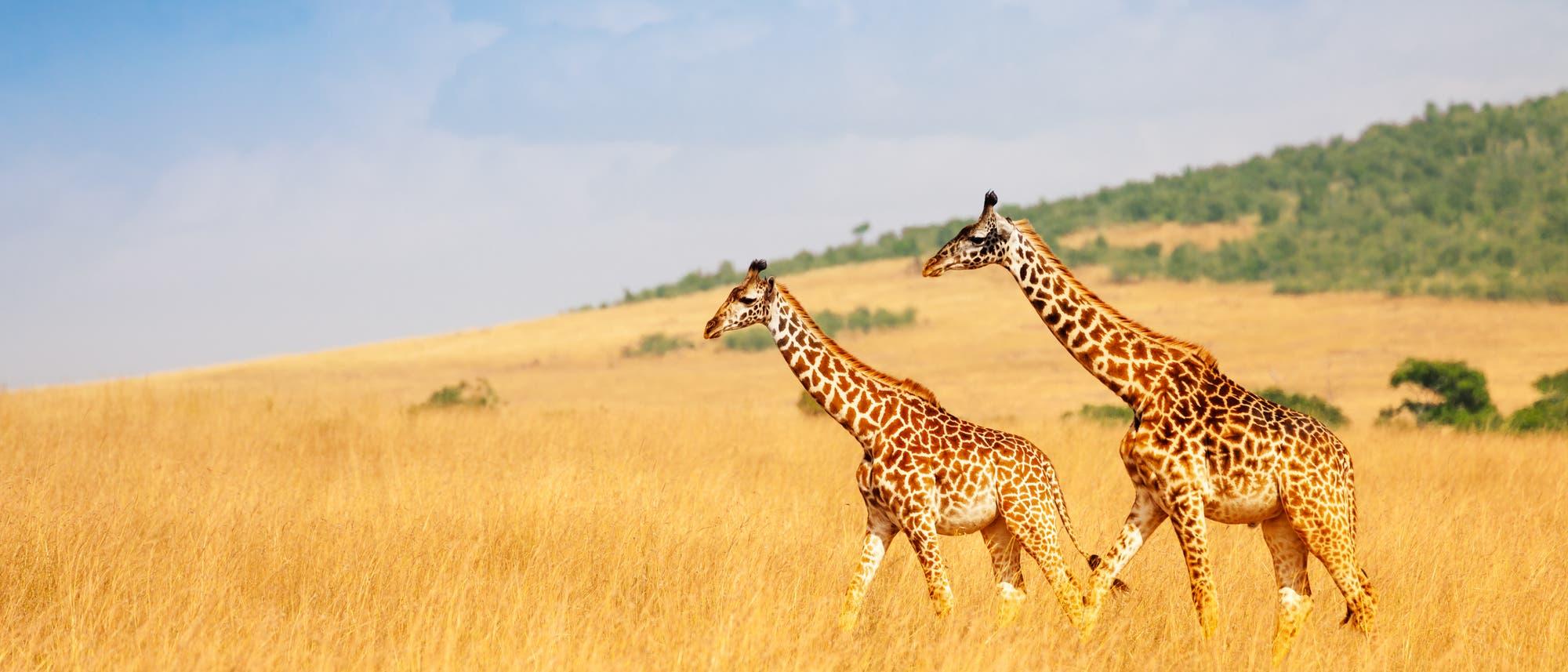 Giraffen im Massai Mara