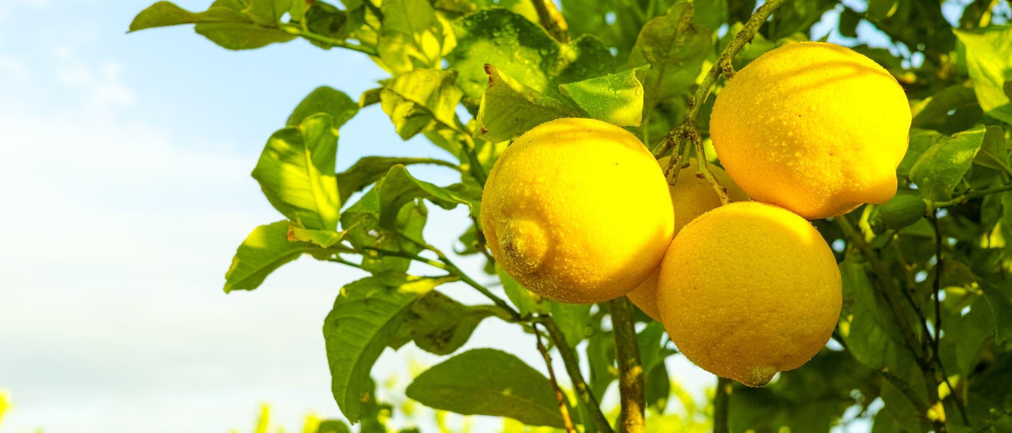 Drei reife Zitronen hängen am Zitrusbäumchen