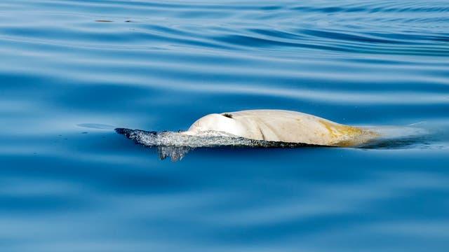 Der Cuvier-Schnabelwal ist die am weitesten verbreitete Art der Schnabelwale.