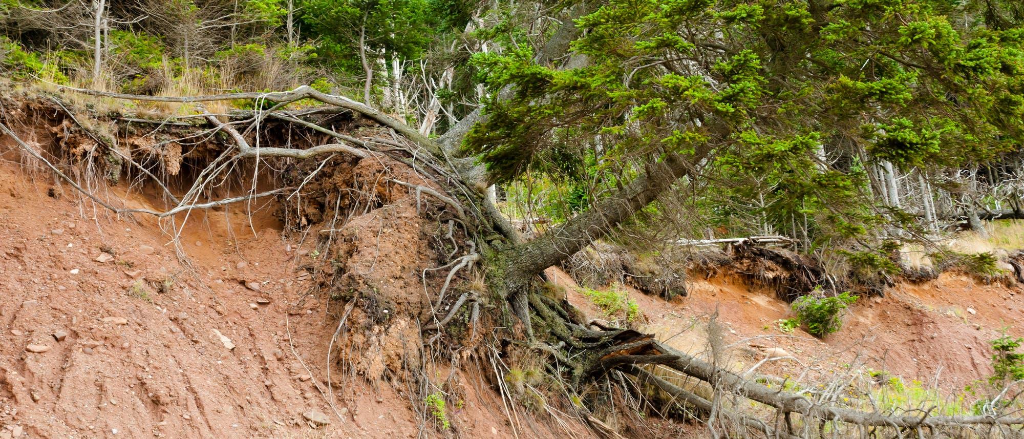 Bruchkante eines Erdrutsches mit überhängendem Nadelbaum.