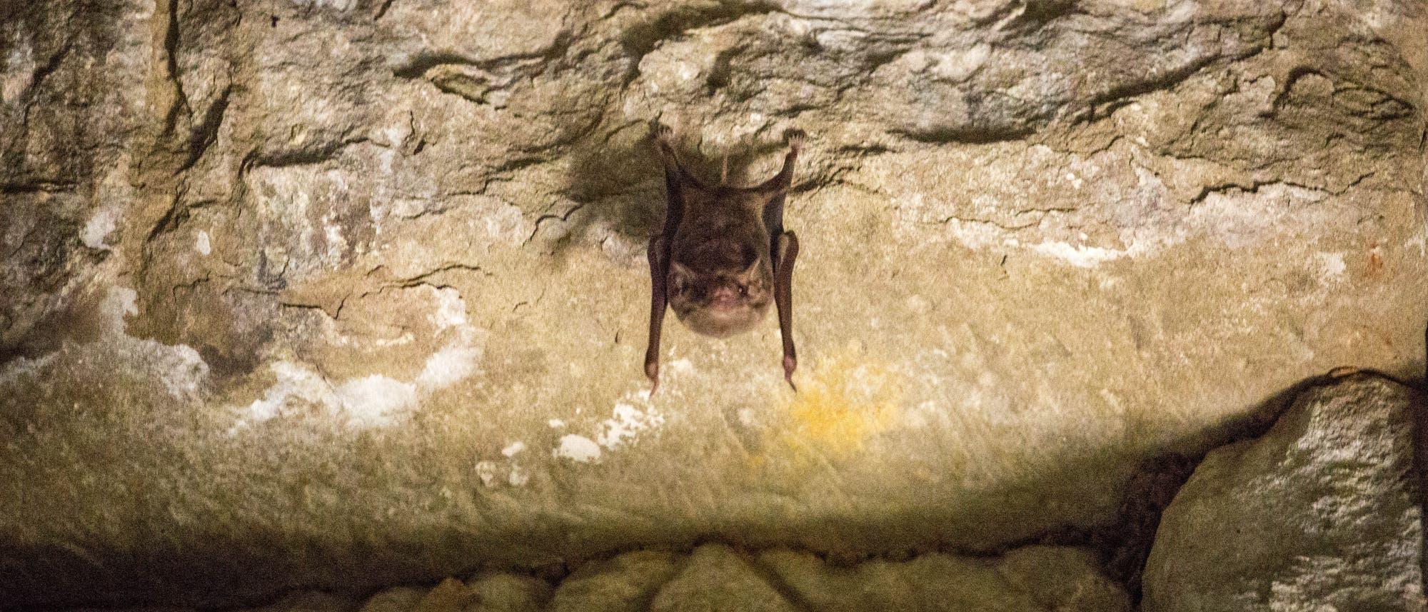 Fledermaus in kambodschanischer Höhle