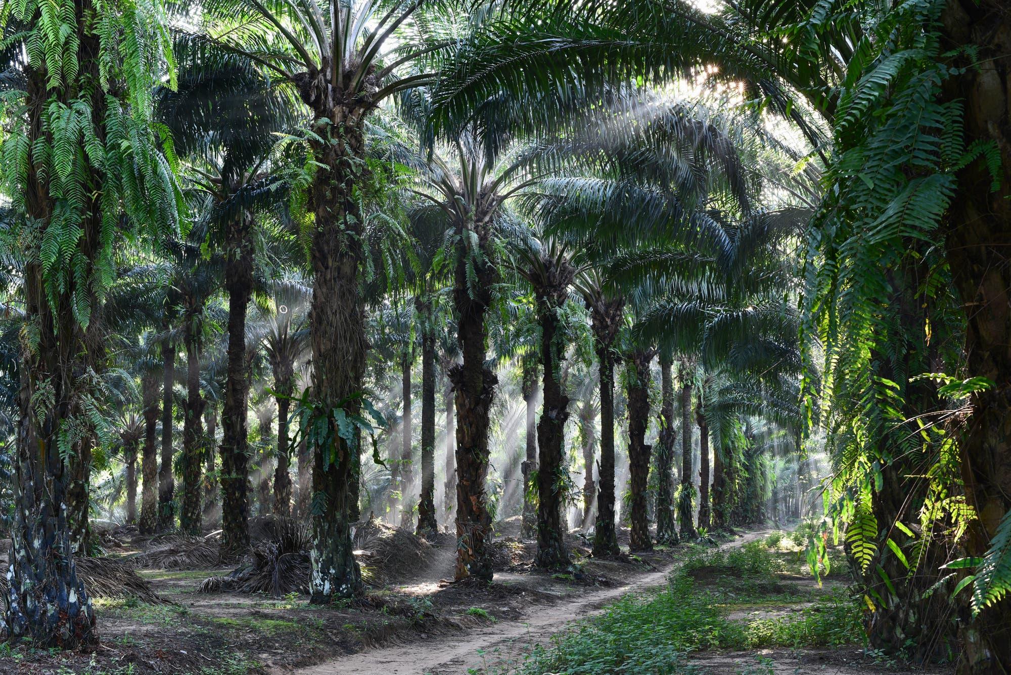 Ölpalmen (Elaeis guineensis)