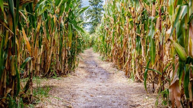 Irrwege im Mais-Labyrinth