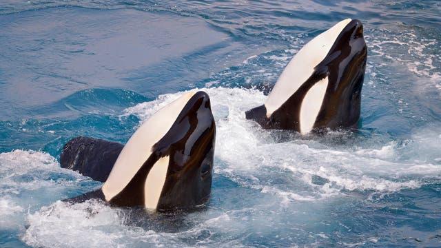 Zwei Orcas schauen aus dem Wasser