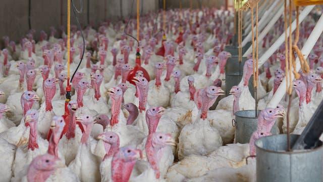 In großen Mastbetrieben stehen bisweilen mehrere zehntausend Vögel. Krankheiten können sich hier rasch ausbreiten.