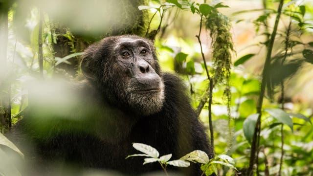Östlicher Schimpanse (in Uganda)