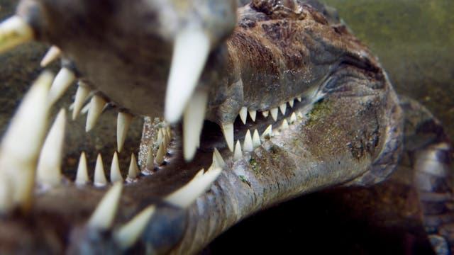 Krokodilgebiss