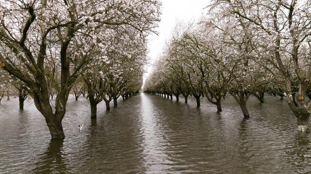 Überschwemmte Mandelplantage in Chico, Kalifornien, am 20. Februar 2017.