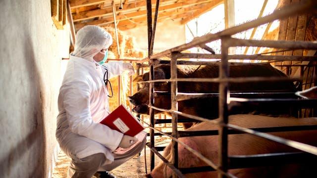 Ein Tierarzt in Schutzkleidung mit Kapuze und Maske hockt vor einem Schwein in einem Verschlag.