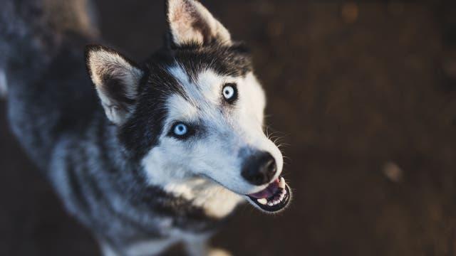 Sibirischer Husky mit blauen Augen