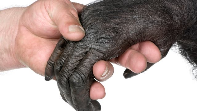 Ein Mensch gibt einem Affen die Hand.