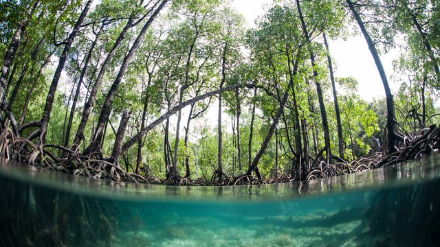 Mangrovenwald in Indien