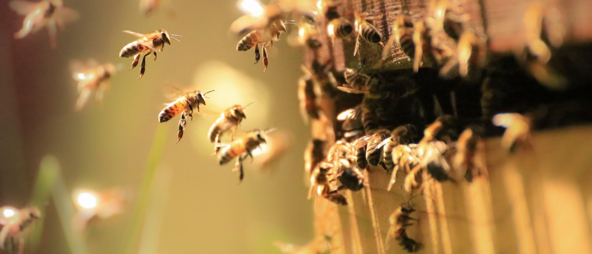 Bienen im Anflug auf den Stock.