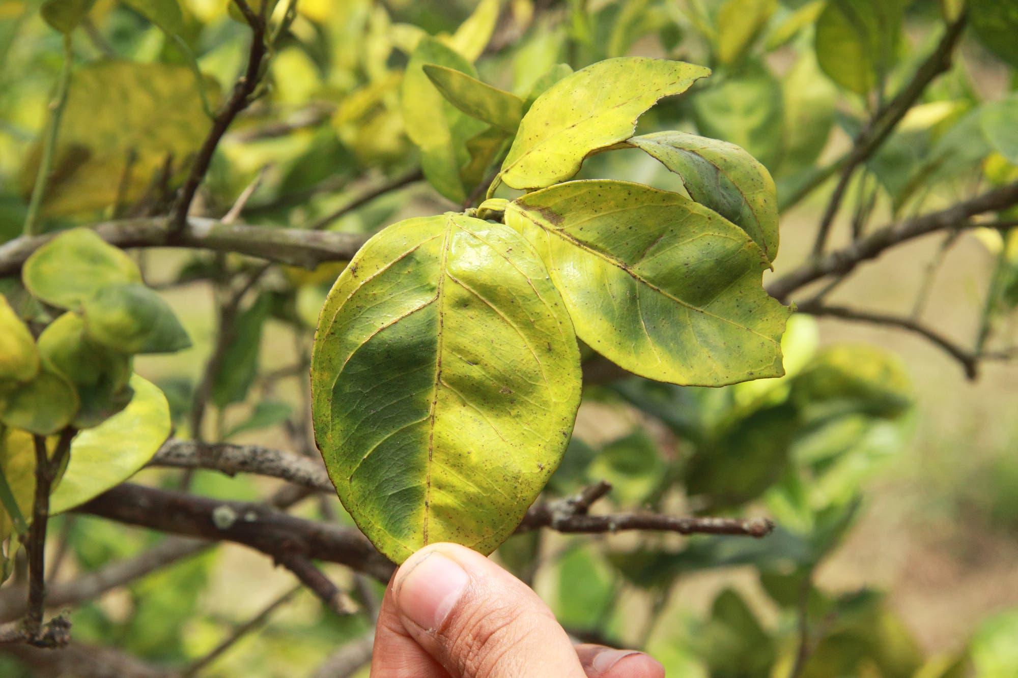 Typischer Befall eines Zitrusbäumchens mit Citrus Greening