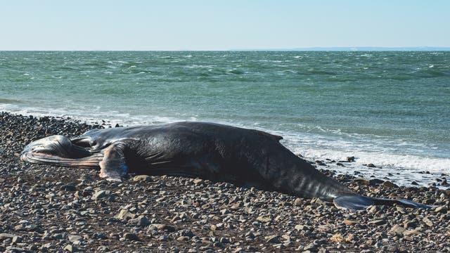 Gestrandeter Buckelwal auf einem Kiesstrand vor dem offenen Meer.