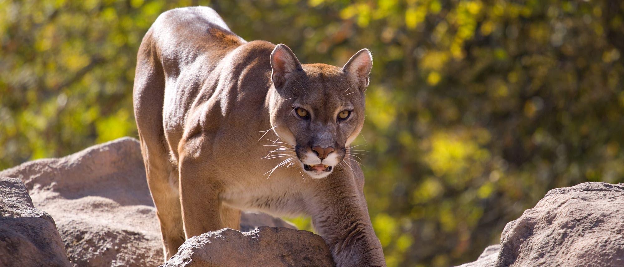 Ein Puma