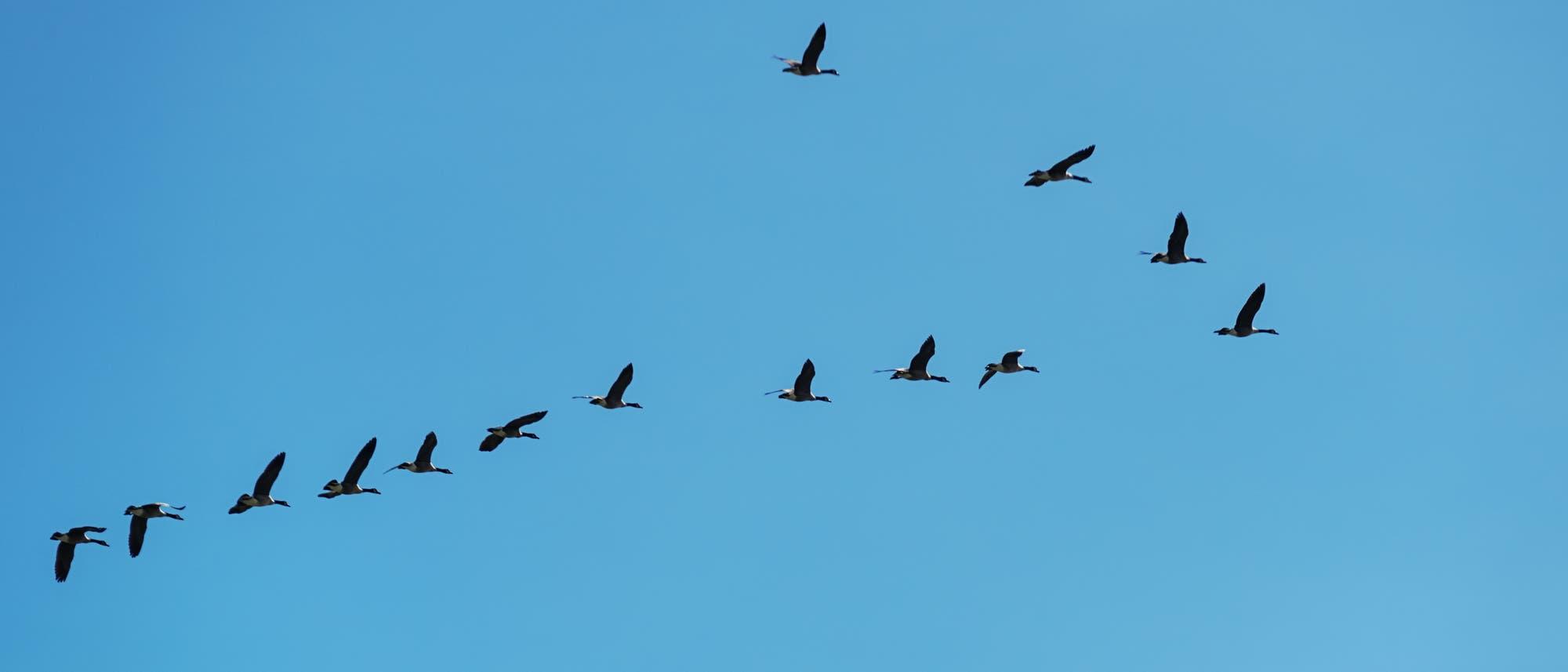 Mit Magnetsinn: Zugvögel