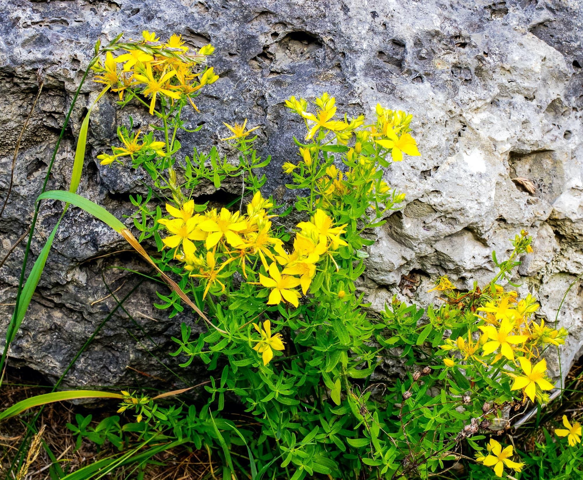 Das gelb blühende Johanniskraut in der freien Natur