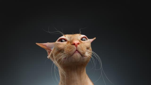 Sphinx-Katze