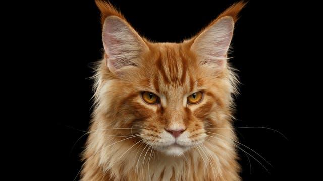 Katze mit rotem Fell