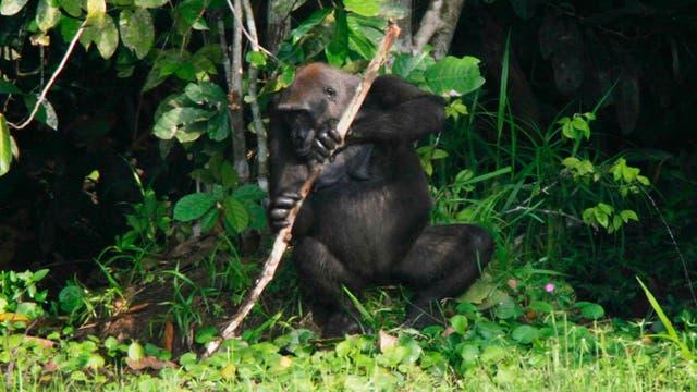 Gorilla Efi mit Stützast