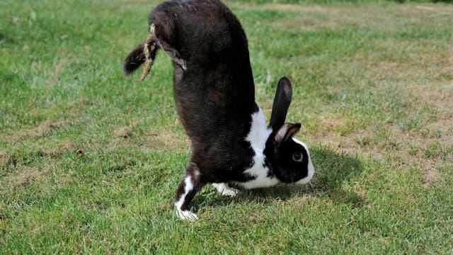 Kaninchen macht Handstand