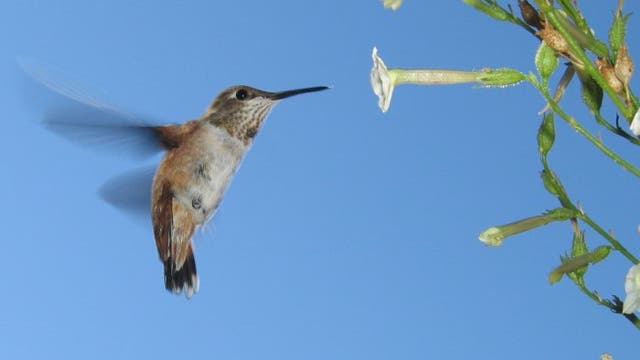 Kolibri beim Blütenbesuch