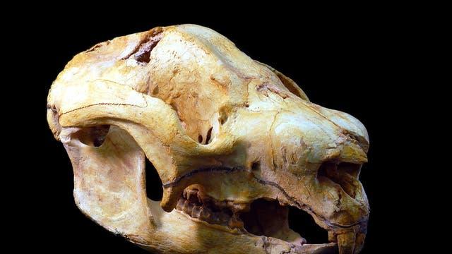Schädel eines Nimbadons