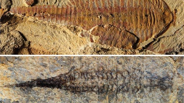 Fossil von Fuxianhuia protensa mit Kreislaufsystem