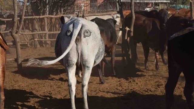 Kuh mit Augen auf den Hintern gemalt