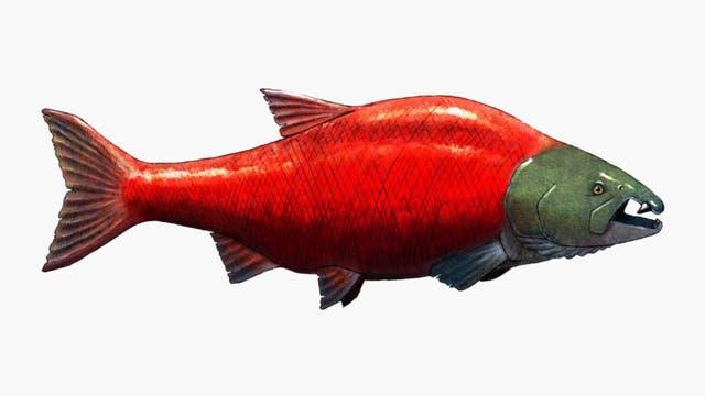 Künstlerische Darstellung eines großen Lachses mit zwei langen Zähnen im Oberkiefer