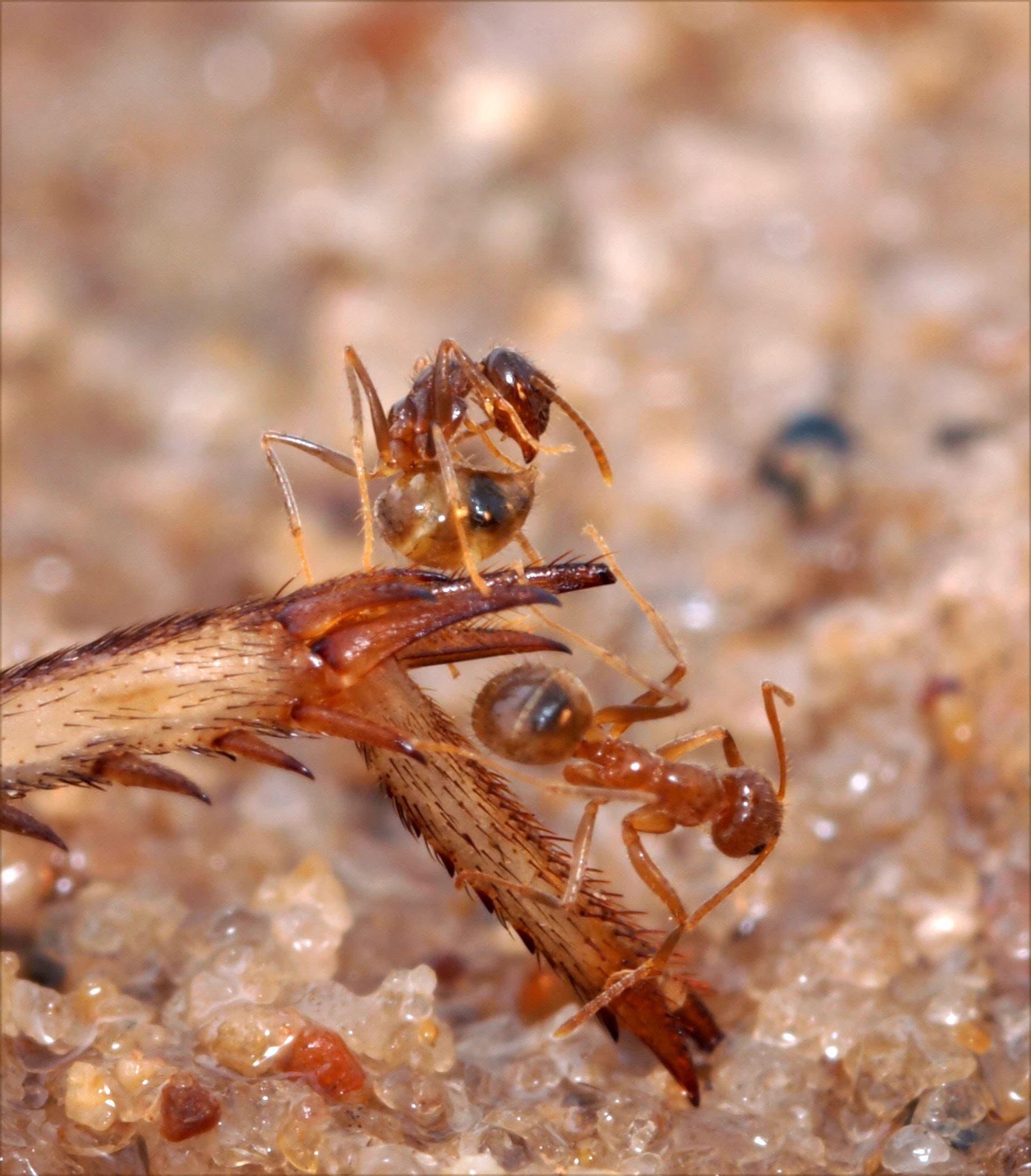Crazy Ants beim Entgiften