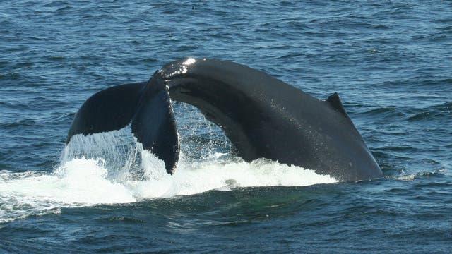 Schwanzflosse des Buckelwals