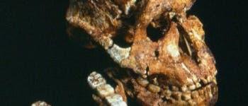<i>Paranthropus</i>-Schädel