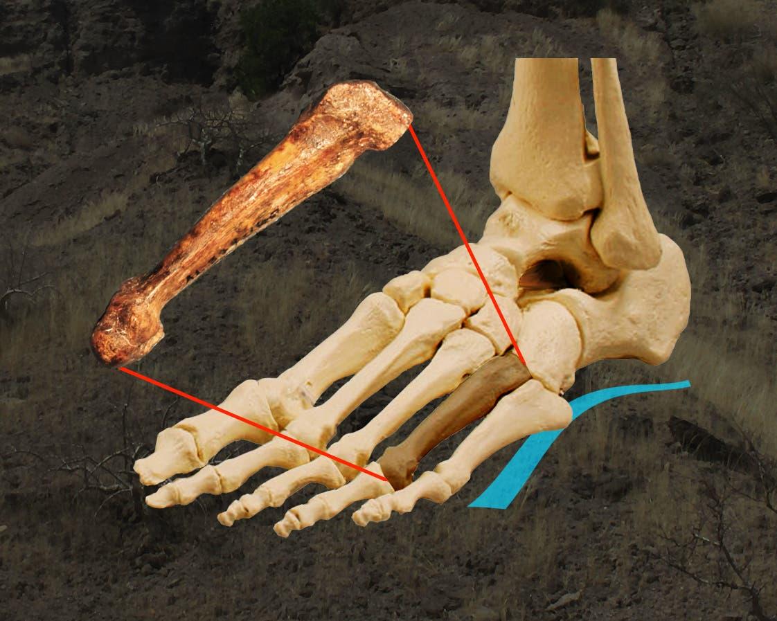 Lage des Knochens in einem menschlichen Fußskelett