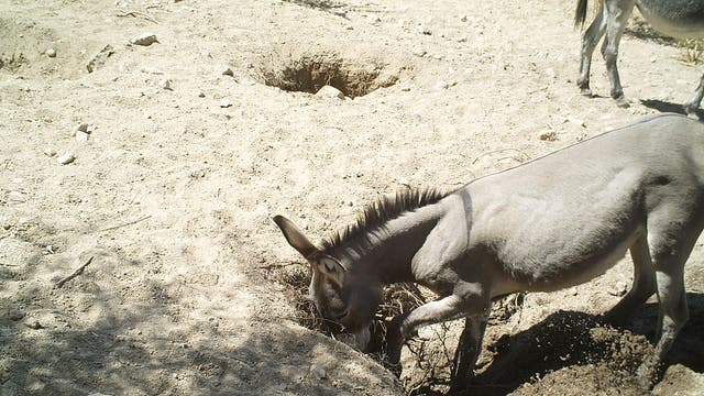 Buddelnder Esel