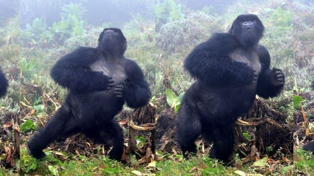 Trommelnder Gorilla