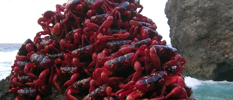 Rote Weihnachtsinsel-Krabben am Ziel