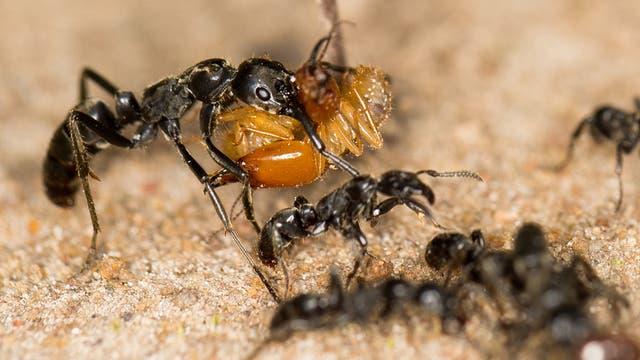 Matabele-Ameisen tragen erbeutete Termiten ins Nest