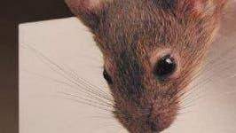 Nase einer neugierigen Maus