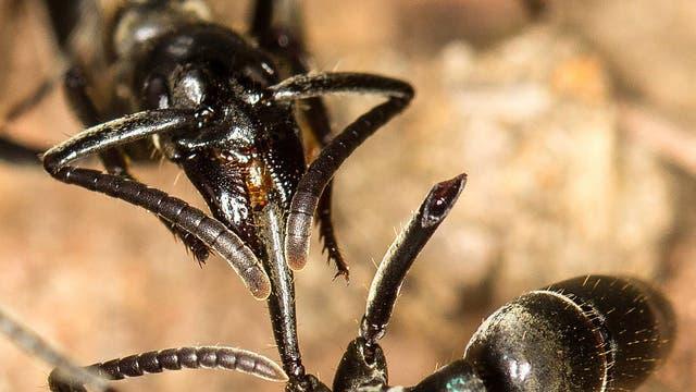 Eine Ameise der Art Megaponera versorgt das verletzte Bein einer Artgenossin.