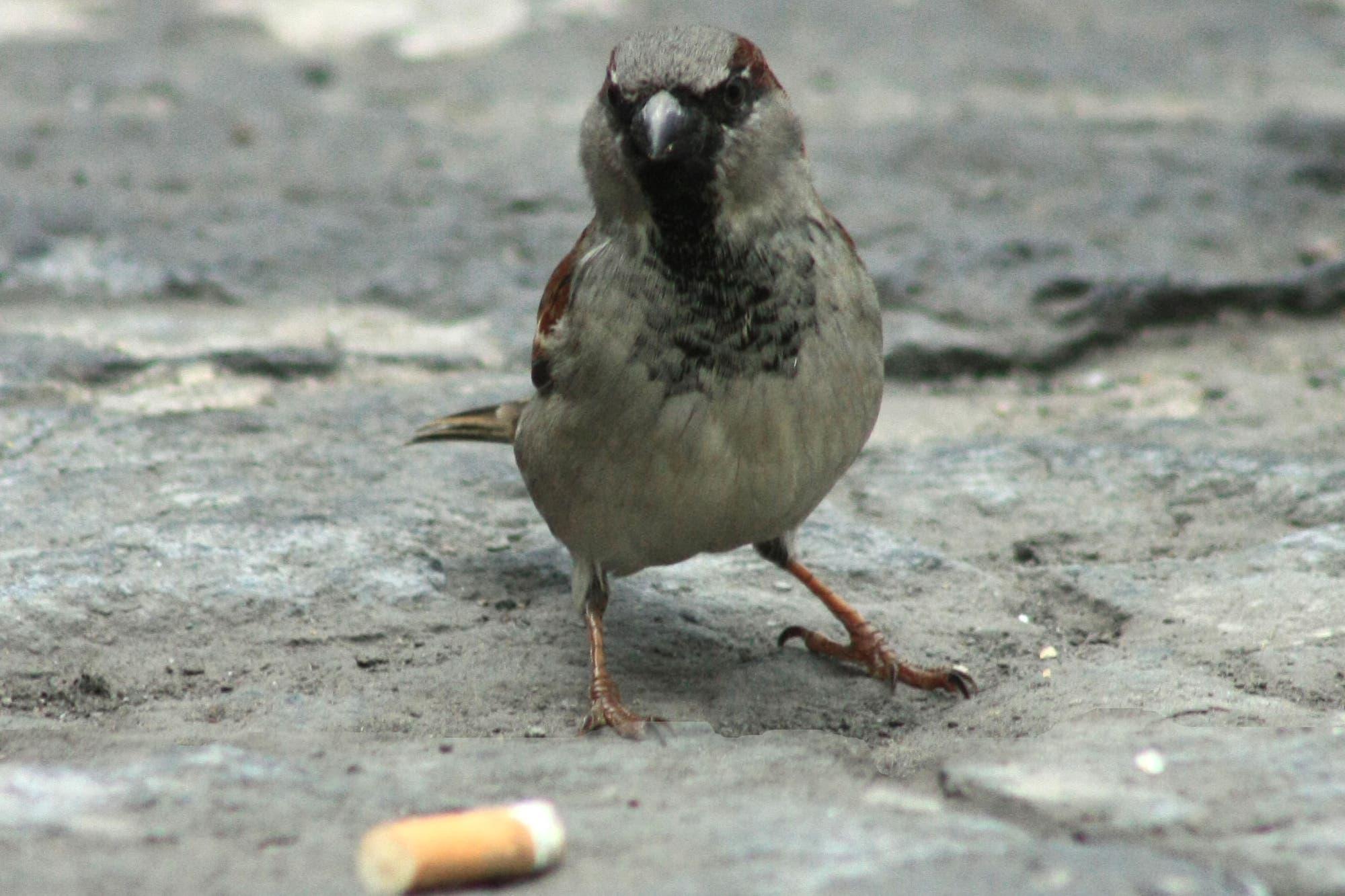 Mexikanischer Hausspatz sucht ungewöhnliches Nestmaterial