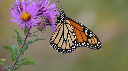 Der Monarch unter den Faltern