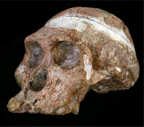 """<i>Australopithecus</i>-Schädel """"Mrs. Ples"""""""