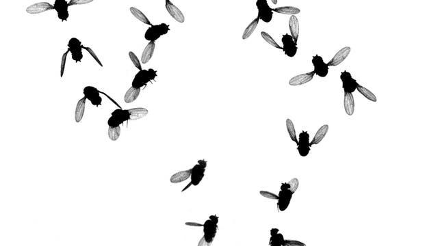 Fliegende Fliegen