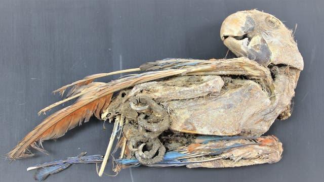 Mumifizierter Ara