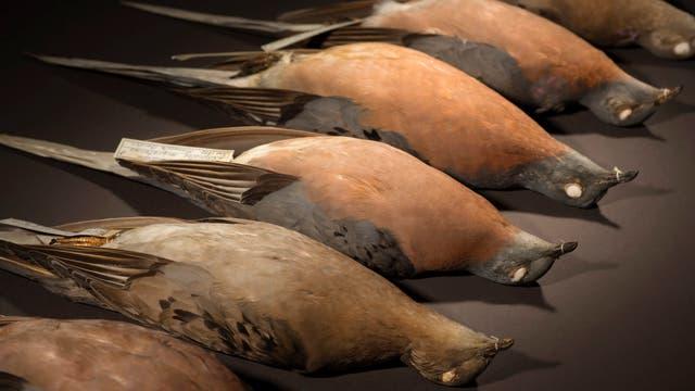 Tote Wandertauben im Museum